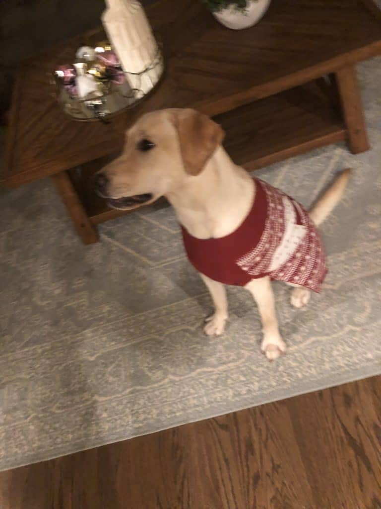Puppy wearing a red Christmas sweater