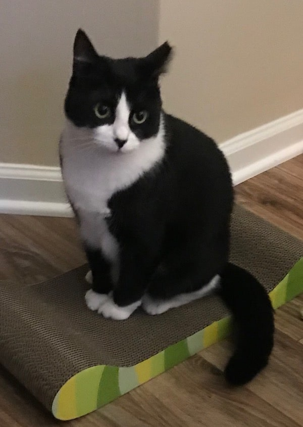 Tuxedo cat sitting on a scratcher/lounger cat toy