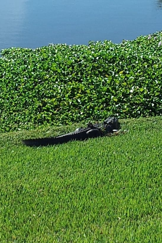 Alligator sunning on the grass next to a pond in Florida exemplifies the southern ways to the max.