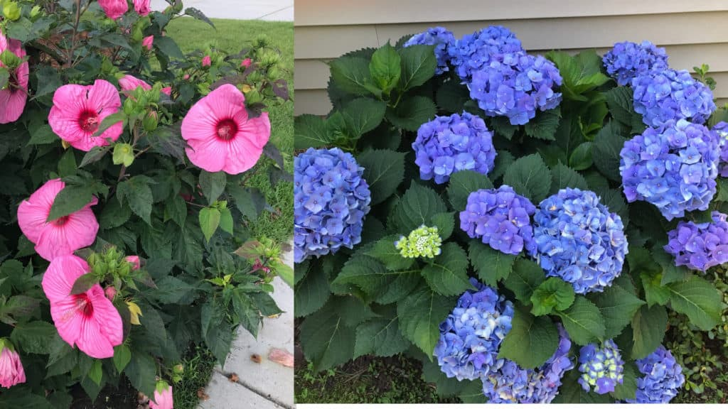 Pink hibiscus and blue hydrangea growing outdoors for a better life in the South