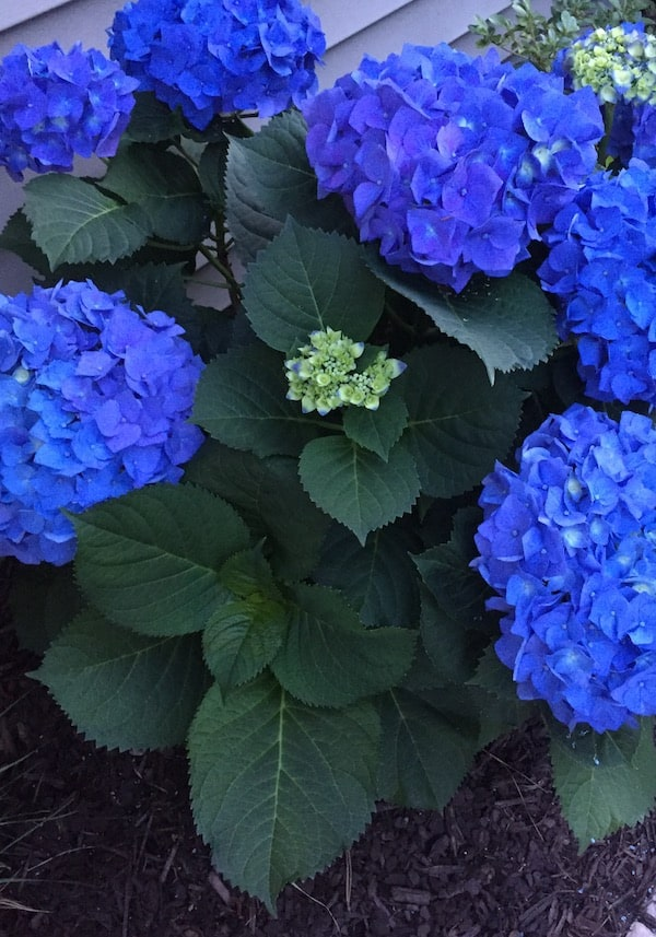 Deep blue hydrangea with dark green leaves add beauty to the southern ways.