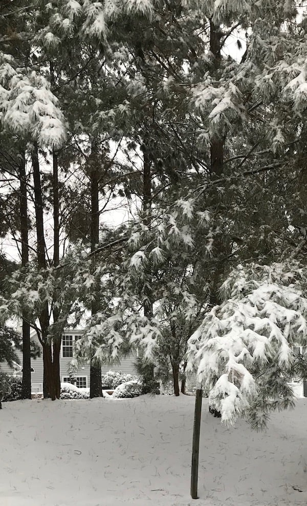 The southern way of dealing with snow covering the pine trees and ground is to go out and buy milk and bread.