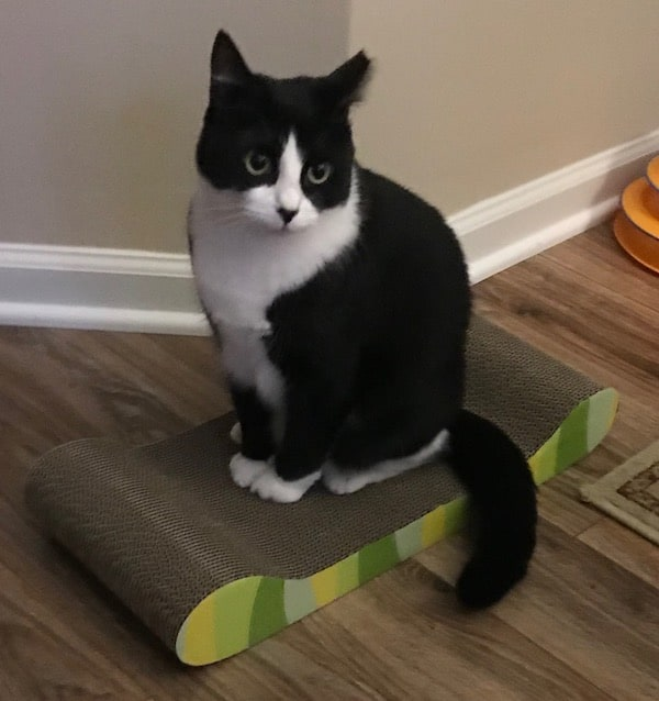 Adult tuxedo cat sitting on a scratcher lounger