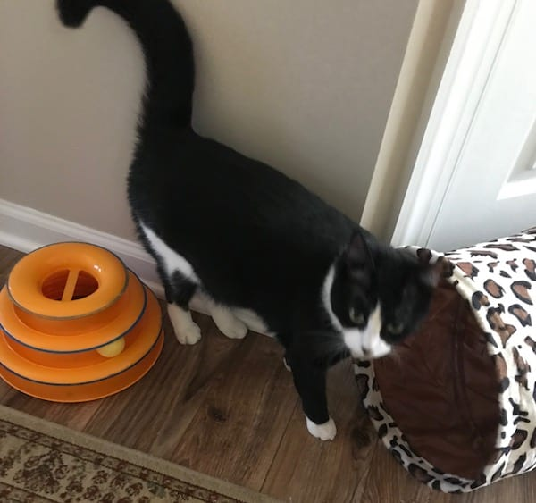 Adult black and white tuxedo cat playing with her toys
