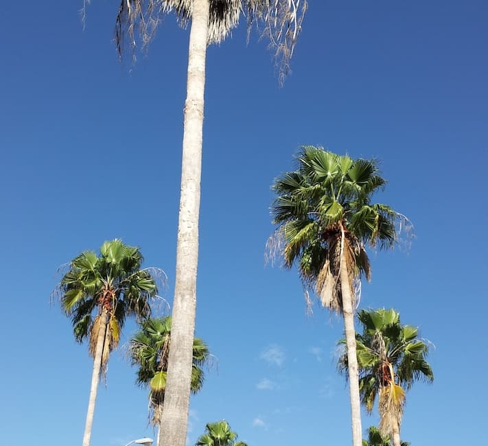 Palm trees sway in the gentle breeze of the the tropical state of Florida.