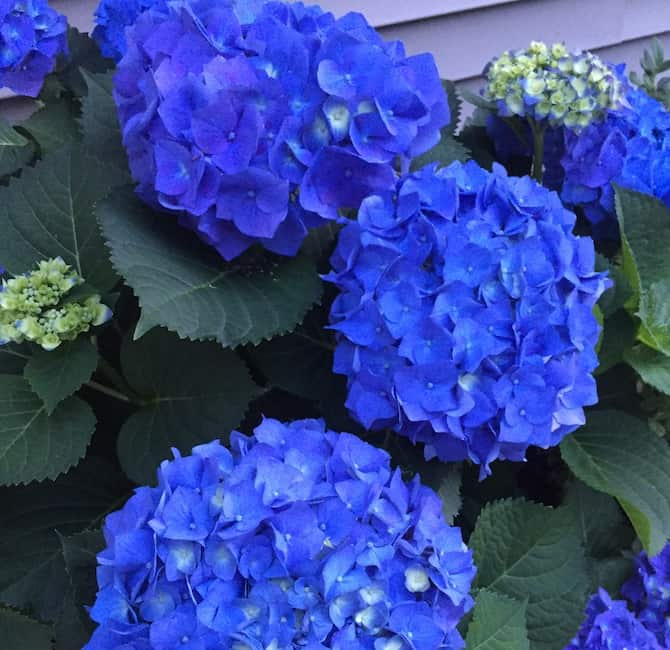 There's nothing more stunning or charming than a well-tended hydrangea in a southern garden.