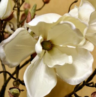Sweet southern magnolia blossom